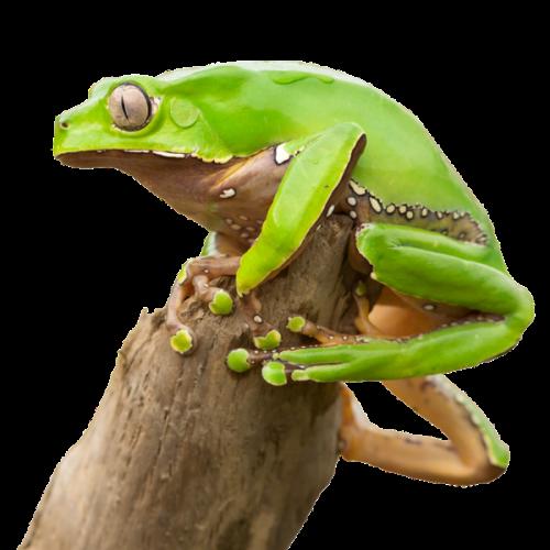 kambo frog on stick